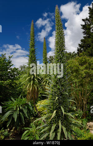 Garden in St James's Park with a giant Tree Echium with purple flowers beloved of bees London England - Stock Photo
