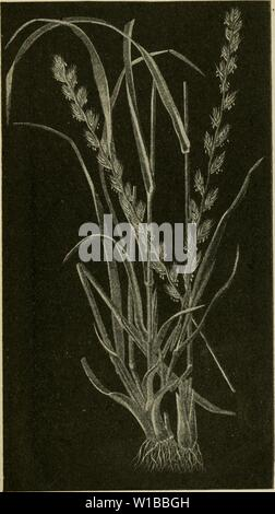 Archive image from page 36 of Dickinson's hand book on farm. Dickinson's hand book on farm seeds . dickinsonshandbo00dick Year: 1916  Italian Rye Grass. 35 The Albert Dickinson Co., Chicago—Minneapolis - Stock Photo