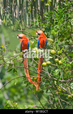 Scarlet Macaws (Ara macao) couple, Corcovado National Park, Osa Peninsula, Costa Rica - Stock Photo