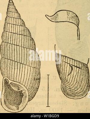Archive image from page 397 of Die Mollusken-Fauna Mitteleuropa's (1884). Die Mollusken-Fauna Mitteleuropa's . diemolluskenfaun22cles Year: 1884  390 Var. major Böttger Catal. p. 61. Clausula elata var. major v. Kimakowicz Beitr. I p. 66. Gehäuse: grösser. Lge. 17—20 mm., Durchm. 4,2—4,5 mm. Verbreitung: Siebenbürgen. Bemerkung. Die Art tritt wie alle Species der Sec- tion nicht selten als Blendling auf (v. viridana v. Kimak. Beitrag I p. 66). Im Uebrigen scheint dieselbe weniger va- riabel zu sein, wie die vorhergehende. Nur die Grösse und Streifung ist einigen Aenderungen unterworfen, die üb - Stock Photo