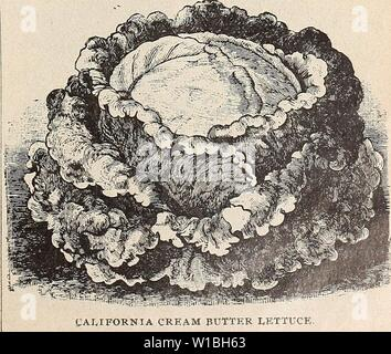 Archive image from page 40 of Descriptive catalogue of high grade. Descriptive catalogue of high grade seeds fruit trees nursery stock and flowers . descriptivecatal1900otto Year: 1900  HUBBARD MARKET LETTUCE. California Cream Butter. Its shape is distinct, heading up like a cabbage, and almost as solid; of a beauti- ful light green color, and particularly rich and buttery in flavor, and very tender Hanson. The heads are of very large size, weigh two and a half to three pounds and measure about one and a half feet in diameter. Iceberg' Lettuce. A fine variety, tender and free from any bitter t - Stock Photo