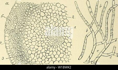 Archive image from page 463 of Die Musci der Flora von - Stock Photo