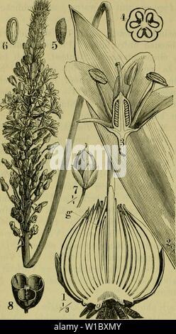 Archive image from page 471 of Deutsche Flora Pharmaceutisch-medicinische Botanik Ein - Stock Photo