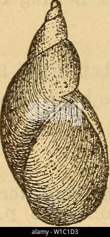 Archive image from page 497 of Die Mollusken-Fauna Mitteleuropa's (1884). Die Mollusken-Fauna Mitteleuropa's . diemolluskenfaun22cles Year: 1884  490 6. VCtr. elüta Baudon Monogr. Succ. p. 165 t. 8 fig. 6. Succinea Pfeifferi var. gracilis Baudon Nouv. cat. moll. de l'Oise 1853 p. 15. Gehäuse: verlängert, wenig gerade, zugespitzt, fest- schalig, halbdurchsichtig, fein gestreift, dunkel bernstein- farbig oder röthlich; Gewinde sehr verlängert, mit schiefer Naht, der letzte Umgang wenig gewölbt; Mündung eiför- mig, kaum die Hälfte der Gehäuselänge erreichend. Lge. 13 mm., Durchm. 4,5 mm. Fig. 329 - Stock Photo