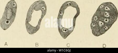 Archive image from page 54 of The development of the albino - Stock Photo