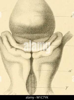 Archive image from page 56 of De selachiorum et ganoideorum encephalo - Stock Photo