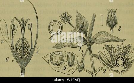 Archive image from page 580 of Deutsche Flora Pharmaceutisch-medicinische Botanik Ein - Stock Photo