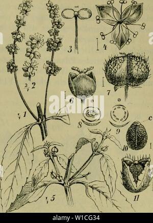 Archive image from page 632 of Deutsche Flora Pharmaceutisch-medicinische Botanik Ein - Stock Photo