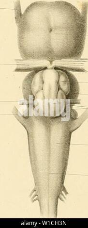 Archive image from page 65 of De selachiorum et ganoideorum encephalo - Stock Photo