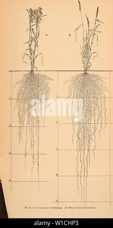 Archive image from page 66 of Development and activities of roots. Development and activities of roots of crop plants; a study in crop ecology . developmentactiv00weav Year: 1922 - Stock Photo
