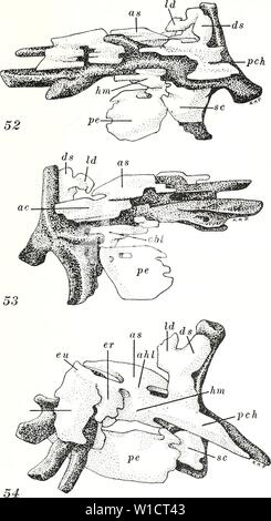 Archive image from page 74 of The development of the pectoral - Stock Photo