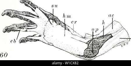 Archive image from page 78 of The development of the pectoral - Stock Photo