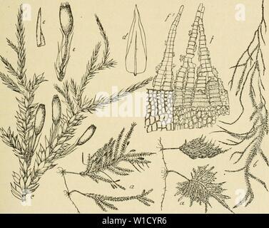 Archive image from page 80 of Die Musci der Flora von - Stock Photo