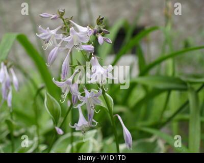 flowers Fragrant plantain lily or Hosta plantaginea - Stock Photo