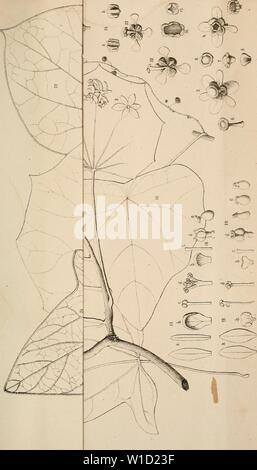 Archive image from page 852 of Diagnoses plantarum novarum Asiaticarum (1877-1893). Diagnoses plantarum novarum Asiaticarum . diagnosesplantar16maxi Year: 1877-1893. - Stock Photo