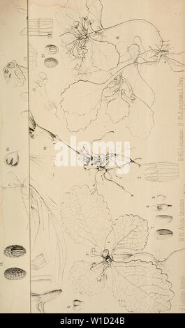 Archive image from page 854 of Diagnoses plantarum novarum Asiaticarum (1877-1893). Diagnoses plantarum novarum Asiaticarum . diagnosesplantar16maxi Year: 1877-1893. - Stock Photo