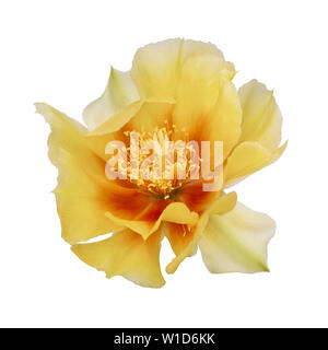 Cactus flower, Indian fig. Isolated on white. Opuntia ficus indica. - Stock Photo