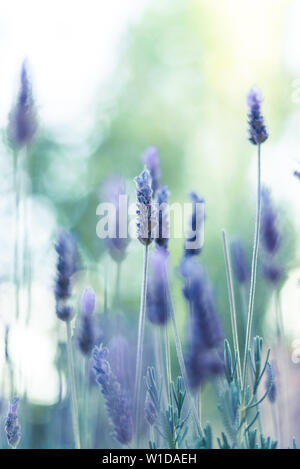 One lavender flower in focus in a shallow depth of field with beautiful bokeh. - Stock Photo