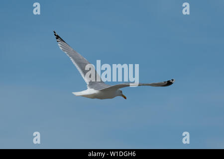 close up of a flying seagull against a blue sky with many details of wings and feathers - Stock Photo