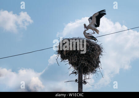 White storks mating in a large stick nest on top of a wooden telegraph or utility pole in Europe during breeding season - Stock Photo