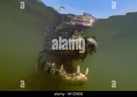 Close up underwater portrait of a jacare caiman (Caiman yacare) in the Rio Claro, Mato Grosso, Brazil, South America - Stock Photo