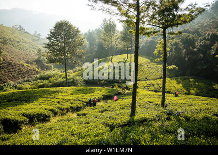 Tea estate, Nuwara Eliya, Central Province, Sri Lanka, Asia - Stock Photo