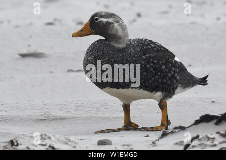 Male Falkland steamer duck (Tachyeres brachypterus) standing on a sandy beach, Volunteer Point, Falkland Islands, South America - Stock Photo