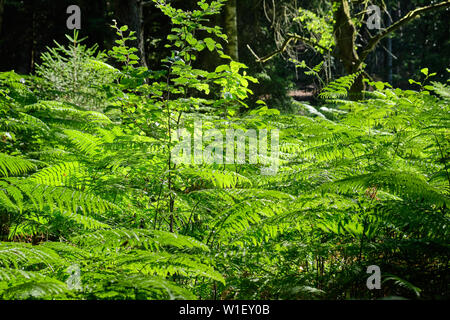 Beautiful green ferns growing in the sunlight in the forest near Bad Orb, Hessen - Stock Photo