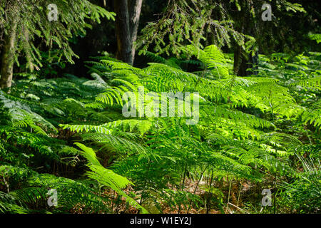 Beautiful green ferns in the sunlight in the forest near Bad Orb, Hessen, in the Spessart forest - Stock Photo