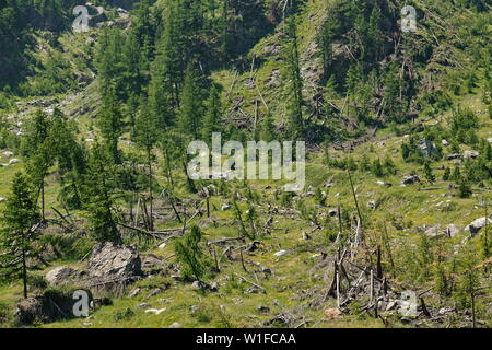 A part of the pinewood cut down by an avalanche - Stock Photo