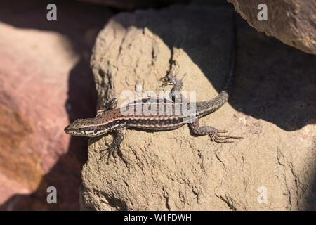 A brown reticulated common wall lizard on a stone wall in the sunshine. Frankfurt am Main. - Stock Photo