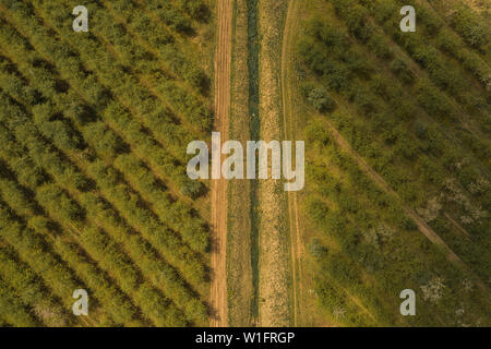 Drone view of apple orchard with dirt road during spring. Photo from a height in spring. - Stock Photo