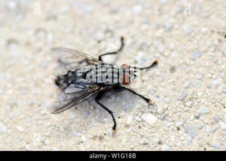 common flesh fly, Sarcophaga carnaria, Graue Fleischfliege - Stock Photo