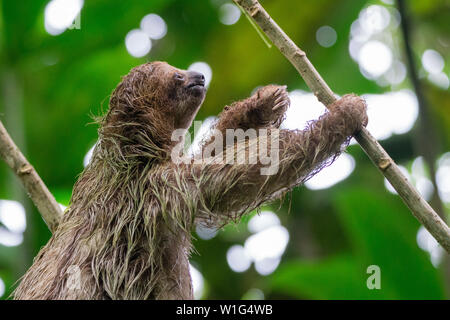 Baby three-toed sloth (Bradypus variegatus) climbing a tree in the Children's Eternal Rainforest in Costa Rica