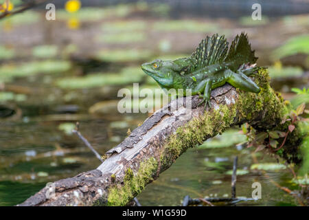A male plumed basilisk, also known as green basilisk or Jesus Christ lizard, rests on a wooden log in Maquenque, Costa Rica. - Stock Photo