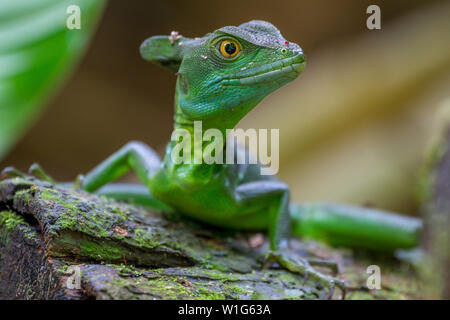 A plumed basilisk, also known as green basilisk or Jesus Christ lizard, rests on a wooden log in Maquenque, Costa Rica. - Stock Photo