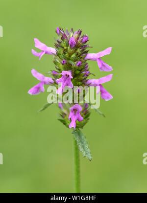 Ziest, Stachys, officinalis, Echter, Heilziest - Stock Photo
