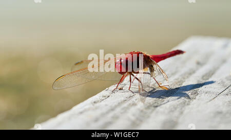 Scarlet dragonfly (Crocothemis erythraea) on a yetty at a lake in Germany - Stock Photo