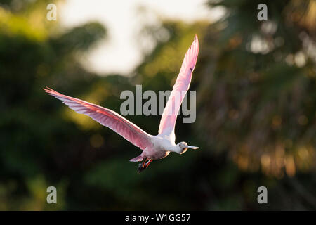 A light pink Roseate Spoonbill flies in front of out of focus palm trees in the late evening sun. - Stock Photo