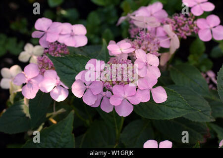 Hydrangea serrata Intermedia pink a corymb. А species of flowering plant in the family Hydrangeaceae, native to of Korea and Japan. - Stock Photo