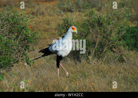 Exotic Secretarybirds are endemic to Africa.  This beautiful wild specimen was photographed on safari in South Africa. - Stock Photo