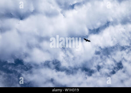 a bird flies against a cloudy sky. silhouette of a bird on a background of clouds. beautiful white cumulus clouds against blue sky. texture of a blue - Stock Photo