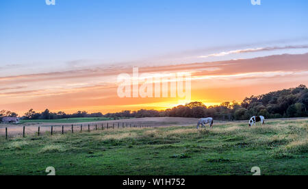 Horses quietly grazing in a lush meadow on a rural farm in Maryland at sunset - Stock Photo