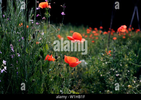 a field with blooming red poppies and some other wild flowers - Stock Photo