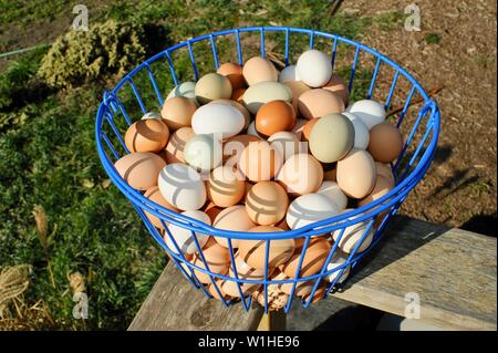 Natural, multicolored, brown, green and white chicken eggs in a blue metal basket after being harvested on a small farm in California, USA. - Stock Photo