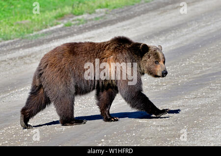 A close up view of an adult grizzly bear 'Ursus arctos' walking across a gravel road in rural Alberta Canada - Stock Photo
