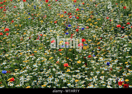 Poppy, daisy, cornflower, wild flowers, wildflower garden, border, colourful - Stock Photo