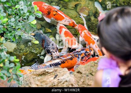 Koi Carp Cyprinus carpio ,Children are watching koi fish close to the water surface in the pond - Stock Photo