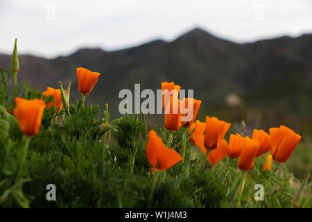 Arizona wildflowers in the Sonoran Desert - Stock Photo