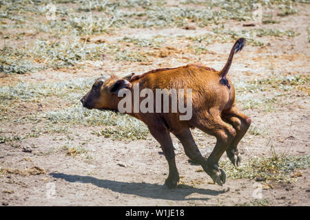 African buffalo calf running in Kruger National park, South Africa ; Specie Syncerus caffer family of Bovidae - Stock Photo